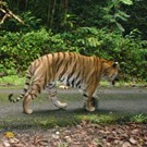 Malaysia Tiger Conservation