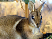 Australia Wallaby Conservation