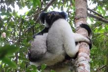 Madagascar Lemur Conservation