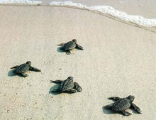 Greece Sea Turtle Conservation