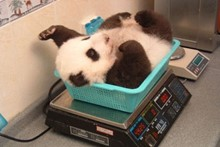 China Panda Breeding Centre