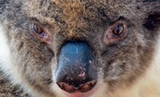 Koala Conservation and Sanctuary in South Australia